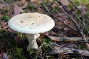 Death Cap or amanita phalloides in a grass with woods