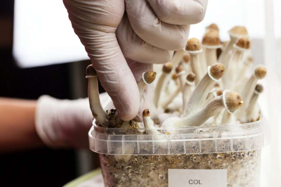 magic mushroom growing in a container and picking it up with gloves