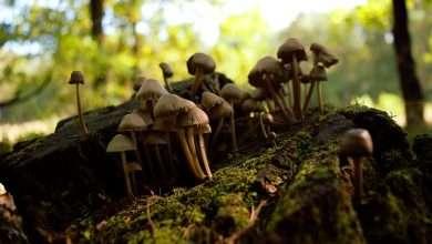 Photo of Where Do Shrooms Grow? Trivia About Magic Mushroom