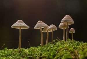 Blue Ringer mushroom
