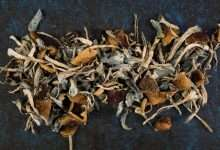Photo of Blue Caps Mushrooms: Blue Bruising Reaction of Psilocybes