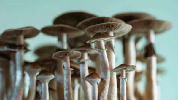 Group psilocin mushroom