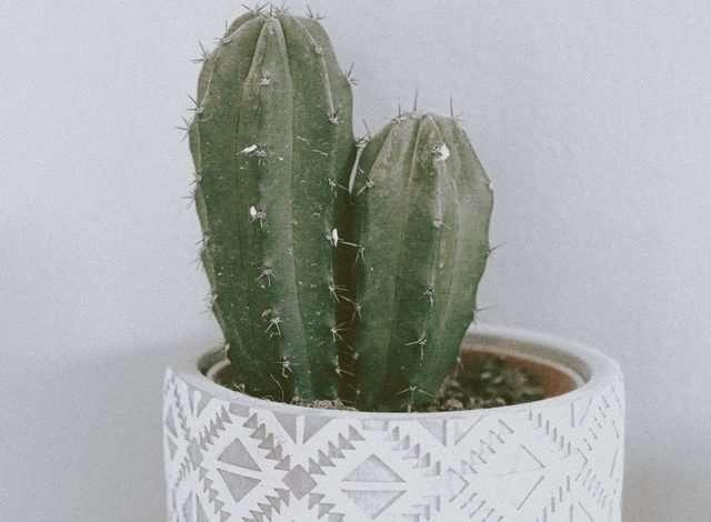 San Pedro Cactus in a pot