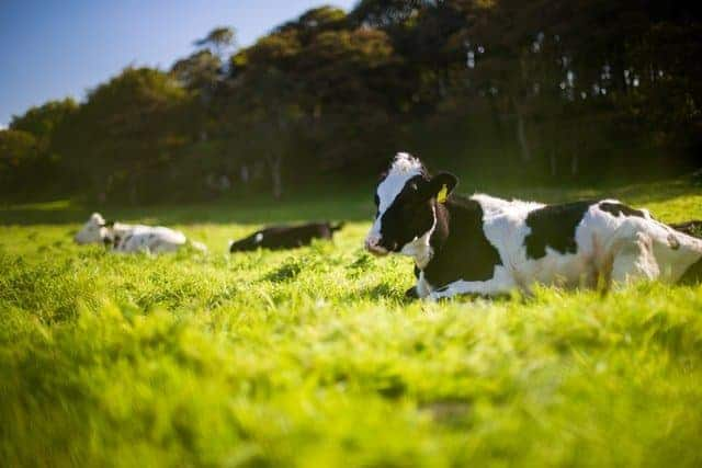 cow-in-cow-pasture