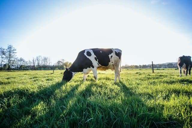 cow-eating-grass-in-a-pasture