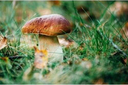 porcini mushrooms that are not psilocybe cubensis