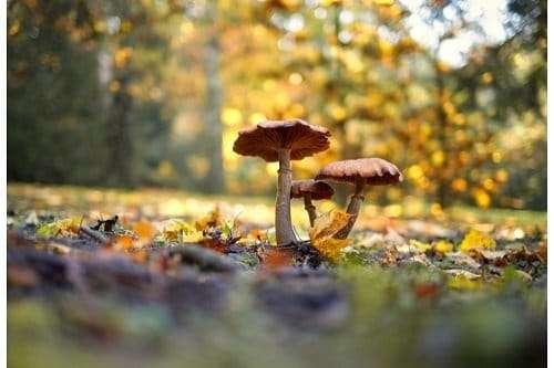 wavy cap mushroom